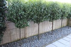 Port wine magnolia standards as hedge Too high. Front Gardens, Small Gardens, Outdoor Gardens, Screen Plants, Privacy Plants, Privacy Trees, Fence Landscaping, Backyard Fences, Outdoor Fencing