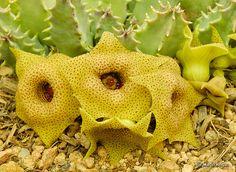 Huernia brevirostris ssp. brevirostris flowers by Martin_Heigan, via Flickr