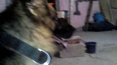 AKC Certification is not necessary to find out the Perfect german shephe...