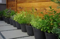 Medicinal and edible herbs grown in pots.
