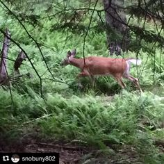 Oh deer #Repost @snobuny802 ・・・ Oh the things you'll see...found this pretty girl trying to eat her supper just off #florence #stowelocal