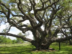 """""""The Big Tree,"""" Goose Island Oak, Goose Island State Park, Texas --Photo by Pat Bean Giant Tree, Big Tree, Beech Tree, Tree Images, Hd Desktop, Natural Wonders, All The Colors, State Parks, The Good Place"""