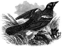 Red-Winged Blackbird | ClipArt ETC