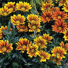 Gazania Kiss Flame Mix