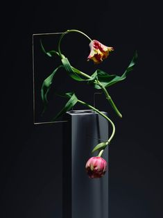 The Graceful Movement of Dancing Tulips Showcased by Carl Kleiner