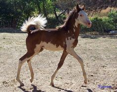 "Purdy little Hancock bred filly and other ""uniquely"" colored horses in General Discussion (Horse Related) Forum"