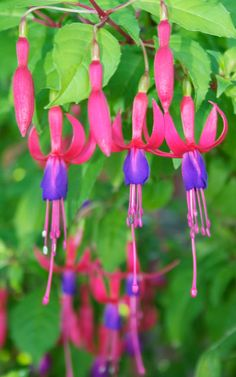 Fuchsias - must have mum's gazillion pots of them! And I should not pop the buds this time hehe