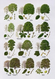 Native Trees - Broad Leaved More Bäume erkennen Illustration Botanique, Botanical Illustration, Botanical Drawings, Trees And Shrubs, Trees To Plant, Tree Planting, Conifer Trees, Deciduous Trees, Flowering Trees