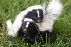 May 2010 I am frequently asked whether or not we descent our little… Cute Baby Animals, Animals And Pets, Beautiful Creatures, Animals Beautiful, Baby Skunks, Nocturnal Animals, Little Critter, Forest Friends, Creature Feature