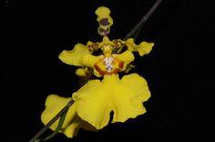 Oncidium tenuipes; foto RJM - Flickr - Photo Sharing!