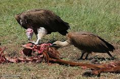 Lappet-faced Vulture Torgos tracheliotos - Google Search