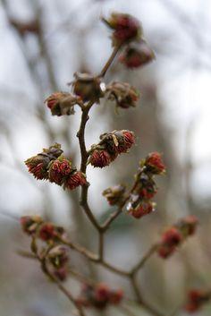 Parrotia persica (Persian Ironwood) blooming - Winter 2012