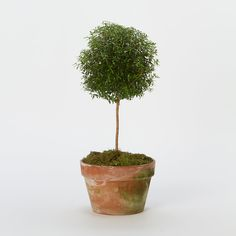 Terrain Myrtle Topiary, Large #shopterrain