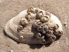 Image result for sea barnacle