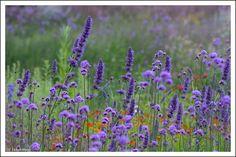 """""""My favorite Verbena bonariensis with Agastache 'Black Adder'"""" Garden Border Plants, Cottage Garden Borders, Cottage Garden Plants, Blue Garden, Colorful Garden, Beautiful Gardens, Beautiful Flowers, Prairie Garden, Blue And Purple Flowers"""