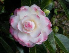 Garden Bulbs, Bonsai Garden, Garden Pots, Fruit Garden, Exotic Flowers, Pretty Flowers, Pink Flowers, Gardenias, Camellia Plant