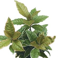 Japonica Variegated- One of over 400+ varieties from Exotic Angel Plants®