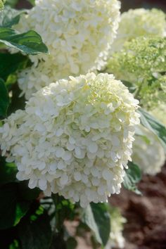 'Limelight' Hydrangea  A panicle type hydrangea (Hydrangea paniculata), 'Limelight' is a shrub that gives and gives. The flower clusters vary from 8 to 12 inches long and open chartreuse, then fade to pink shades. The color lingers well into fall. A tough plant, 'Limelight' is hardy in Zones 3 to 8. Panicle hydrangea trains well into a tree form.