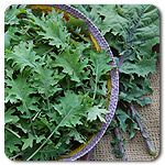 Organic Red Russian Kale- plant this every year.