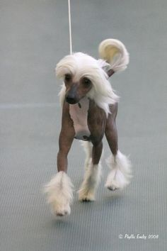 Chinese Crested hairless; Little T