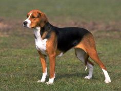American Foxhound Dog Breed .