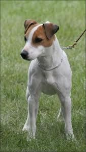 Jack Russell Terrier , Parson Russell Terrier Complete Breed Information and Photos Jack Russell Terrier, Jack Terrier, Rat Terriers, Terrier Dogs, Terrier Breeds, Boston Terrier, Perros Jack Russell, Jack Russell Dogs, Hunting Dogs