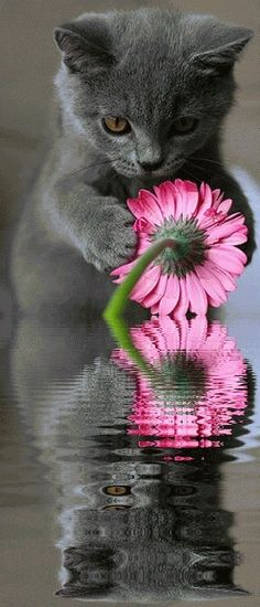 Grey cat admiring pink flower