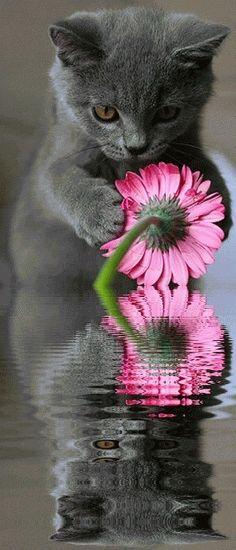 Grey cat admiring pink flower