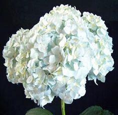 Jumbo Hydrangea Blue Flower 18 Stems$122.99