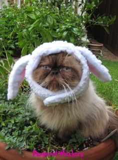 This cat, looks so sad.     The Sheepish One costume hat for cats and dogs by PamperedWhiskers,