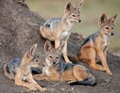 There are two species of jackal found in Kenya: the common or golden jackal, and the black-backed jackal (Canis mesomelas), which is a common sight in the major reserves.
