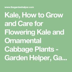 Kale, How to Grow and Care for Flowering Kale and Ornamental Cabbage Plants - Garden Helper, Gardening Questions and Answers