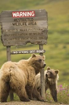 A sow grizzly bear and her yearling cub scratch on the Sable Pass closure sign.