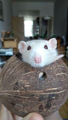 Rat in coconut. #aww #cute #rat #cuterats #ratsofpinterest #cuddle #fluffy #animals #pets #bestfriend #ittssofluffy #boopthesnoot