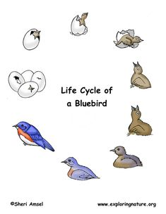 Lifecycle of a bluebird  http://www.exploringnature.org/db/detail.php?dbID=32&detID=1210