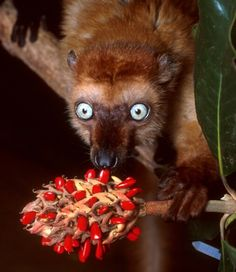 Blue Eyed Black Lemur