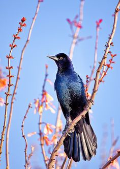 The Boat-tailed Grackle (Quiscalus major) is a passerine bird of the family Icteridae found as a permanent resident on the coasts of the south eastern USA. It is found in coastal saltwater marshes, and in Florida also on inland waters.