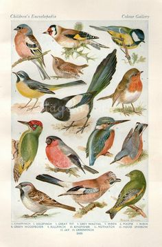 Las plumas del pájaro del vintage impresión de Historia Natural Antiguos plumas Ilustración de Aves pinzón del oro Sparrow Wren Robin Gull