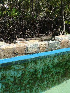 Iguanas with mucho bravado. Beach, Outdoor Decor, Home Decor, Decoration Home, The Beach, Room Decor, Beaches, Interior Decorating