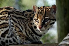 Magoo Ocelot | Carolina Tiger Rescue Big Cats, Cute Pictures, Cute Animals, Wildlife, Tigers, Nature, Photography, Painting, Pets