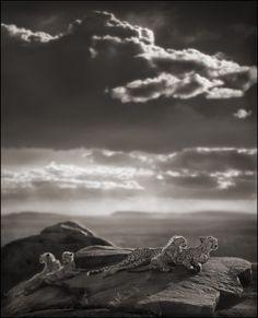 Bid now on Cheetah & Cubs Lying on Rock, Serengeti by Nick Brandt. View a wide Variety of artworks by Nick Brandt, now available for sale on artnet Auctions. Nick Brandt, Wildlife Photography, Animal Photography, Cheetah Cubs, Cheetah Family, Out Of Africa, East Africa, Black N White Images, Black White