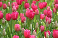 Printable art download Field of pink Tulips door LydiaVideiraLight