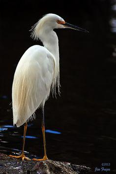 Snowy Egret. Bluff Lake Nature Center, Denver, CO, June 7, 2014.