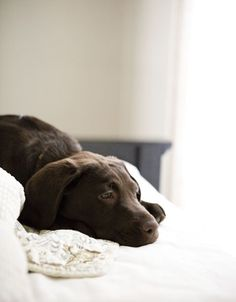 .chocolate lab