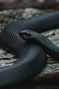 a beautiful snake. Just a beautiful snake.Just a beautiful snake. Les Reptiles, Reptiles And Amphibians, Beaux Serpents, Mexican Black Kingsnake, Fullhd Wallpapers, Serpent Animal, Black Mamba Snake, Snake Wallpaper, Cute Snake