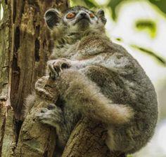 Laporan Penelitian: Komunikasi Toilet Lemur Berkaki Putih Lepilemur leucopus