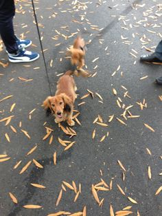 My Baby Leo and his cousin Adam - Dachshunds http://www.lesbananas.us/2013/10/autumn-in-nyc-hot-dogs-in-central-park.html