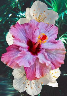"""Hibiscus. All i can hear is the lobster bisque guy from studio c going, """"HIBISCUS?!"""""""