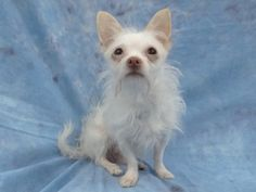 """Meet """"Powder"""", a young male Powder Terrier/Chihuahua? Mix • I am a fun-loving little dog who also loves to be held & cuddle w/ my favorite people. I am one of the cutest dogs you will ever meet! Come meet me at SPCA-LA South Bay PAC Hawthorne, CA"""
