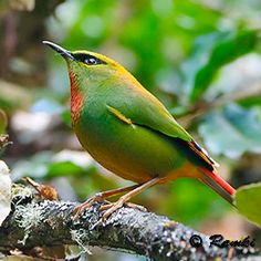 This tiny 12cm bright green jewel occurs in the moist and mossy subtropical and tropical Himalayan forests. Usually found in mixed hunting flocks of tiny birds, this species often feeds actively in the dense canopy when it is a sight to behold.    The Fire-tailed Myzornis is the sole member of the genus Myzornis and is tenuously placed in the Old World babbler family. It is found from India to Myanmar.